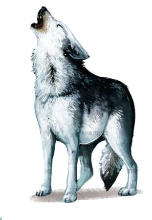 Howling Wolf white background