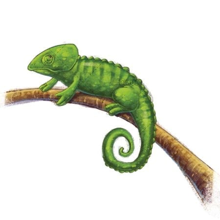 chameleon on a branch on isolated background