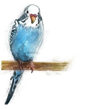Illustration of blue parakeet bird
